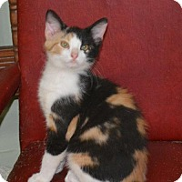 Calico Kitten for adoption in Parker Ford, Pennsylvania - Meme