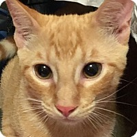 Domestic Shorthair Kitten for adoption in Metairie, Louisiana - Jynx - Gorgeous Orange Kitten