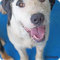 Adopt A Pet :: Bullseye - Waterbury, CT