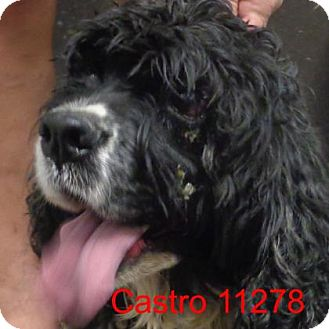 Cocker Spaniel Dog for adoption in Alexandria, Virginia - Castro