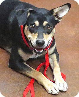 Shepherd (Unknown Type)/Labrador Retriever Mix Dog for adoption in Scottsdale, Arizona - Shay
