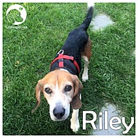 Adopt A Pet :: Riley - Pittsburgh, PA