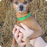 Adopt A Pet :: Burrito - Joplin, MO