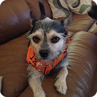 Yorkie, Yorkshire Terrier Mix Puppy for adoption in North Port, Florida - Sparky
