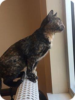 Domestic Shorthair Kitten for adoption in Cumming, Georgia - Azalea