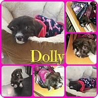 Adopt A Pet :: Dolly - Ft Worth, TX