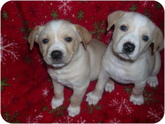 american bulldog lab mix puppy american bulldog puppies adopted puppy wauseon oh 9599