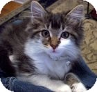 Maine Coon Cat for adoption in Easley, South Carolina - Gracie Belle