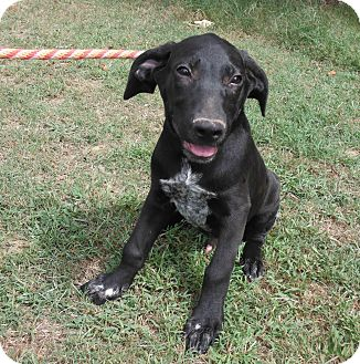 George   Adopted Puppy   Hollis, ME   Labrador Retriever ...
