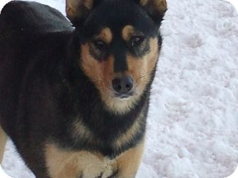 Husky/Shepherd (Unknown Type) Mix Dog for adoption in Carey, Ohio - FAITH