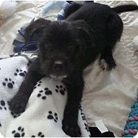 Adopt A Pet :: Sicily - wirey - Phoenix, AZ