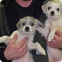Adopt A Pet :: Bam Bam - Raleigh, NC