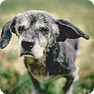 Adopt A Pet :: Bob looks like Walter Matthau