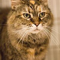 Domestic Mediumhair Cat for adoption in Grayslake, Illinois - Starr