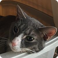 Adopt A Pet :: Pebbles - Horsham, PA