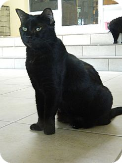 Domestic Shorthair Cat for adoption in Jupiter, Florida - Jamie