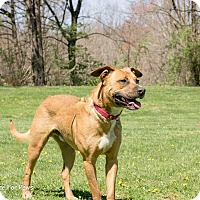 Boxer/Shepherd (Unknown Type) Mix Dog for adoption in Columbus, Ohio - Lincoln
