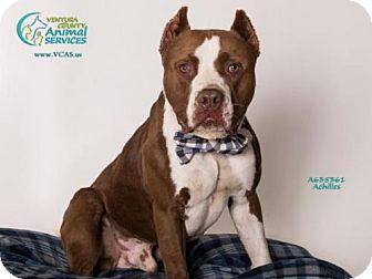 Pit Bull Terrier Dog for adoption in Camarillo, California - ACHILLES