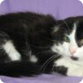 Domestic Shorthair Cat for adoption in Powell, Ohio - Ricardo