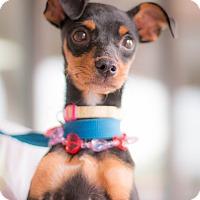 Adopt A Pet :: Phoebe - Syracuse, NY
