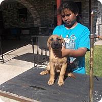 German Shepherd Dog/Labrador Retriever Mix Puppy for adoption in San Antonio, Texas - Harry