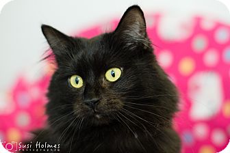 Domestic Mediumhair Cat for adoption in Colorado Springs, Colorado - Baloo