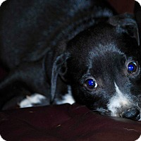 Adopt A Pet :: Ringo-ADOPTION PENDING - Cranston, RI