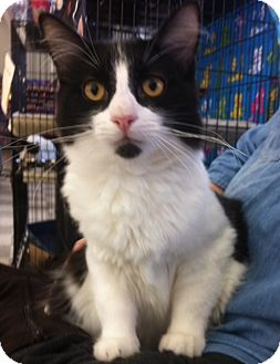 Domestic Mediumhair Kitten for adoption in Sacramento, California - Thunder N