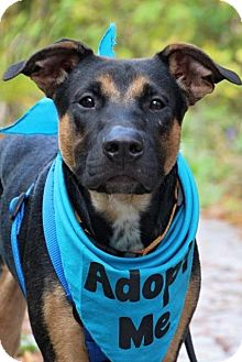 Shepherd (Unknown Type)/Doberman Pinscher Mix Dog for adoption in Fort Atkinson, Wisconsin - Carter
