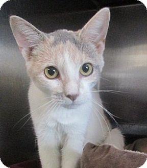 Turkish Van Cat for adoption in Germantown, Maryland - Maggie