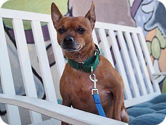 Miniature Pinscher Mix Dog for adoption in Whitehall, Pennsylvania - Dakota