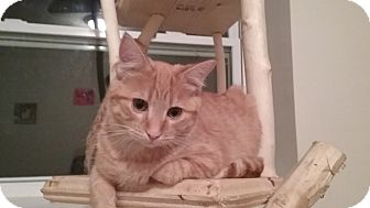 Domestic Shorthair Kitten for adoption in Cedar Springs, Michigan - Tiny Tim