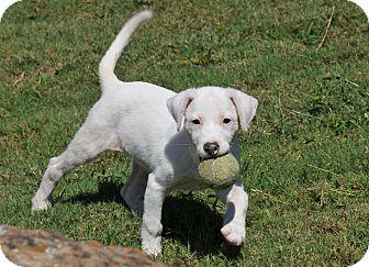 Labrador Retriever Mix Puppy for adoption in Wellesley, Massachusetts - Flo