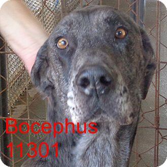 Great Dane Dog for adoption in baltimore, Maryland - Bocephus
