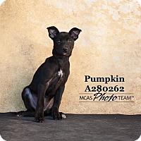 Adopt A Pet :: PUMPKIN - Conroe, TX