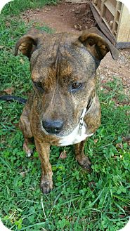 Pit Bull Terrier Dog for adoption in Demorest, Georgia - Sulli