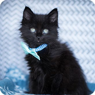 Domestic Longhair Kitten for adoption in Montclair, California - Derek