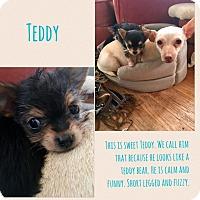 Adopt A Pet :: Teddy - Renton, WA