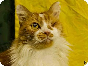 Domestic Mediumhair Cat for adoption in Salt Lake City, Utah - OLIVER