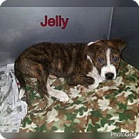 Adopt A Pet :: JELLY - Pomfret, CT