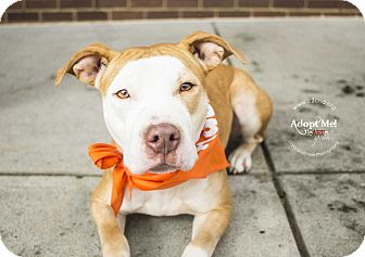 American Pit Bull Terrier/Pit Bull Terrier Mix Dog for adoption in Mooresville, North Carolina - Shadow
