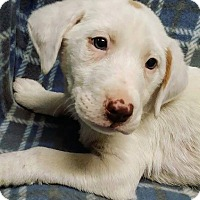 Labrador Retriever Mix Puppy for adoption in Cannelton, Indiana - Charlie