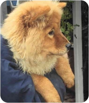... | Adoption Pending | Sacramento, CA | Chow Chow/Golden Retriever Mix