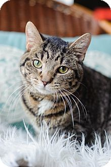 Domestic Shorthair Cat for adoption in Addison, Illinois - Pepperoni