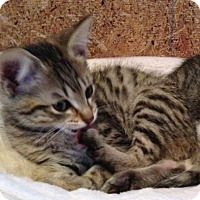 Adopt A Pet :: Mr Tabbs - McDonough, GA