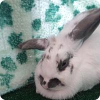 Adopt A Pet :: Paprika - Garland, TX