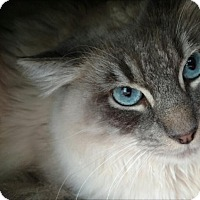 Adopt A Pet :: Blue - Mountain View, CA