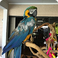Macaw for adoption in Tampa, Florida - Nick