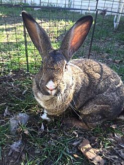 Flemish Giant for adoption in Pacific Grove, California - CHLOE Girl