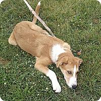 Adopt A Pet :: Dixie - O'Fallon, MO